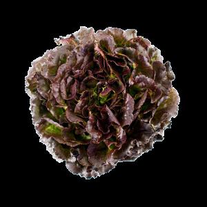 Lettuce Red Batavia